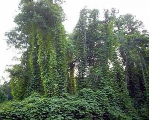 In another section of the kudzu field, a grove of tall trees are covered with the hateful vine.