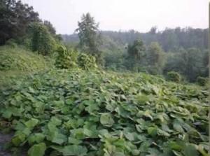 An immense rural hillside covered with lush, green kudzu.