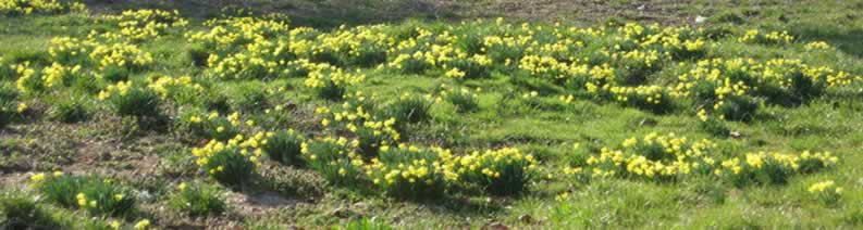 Large grassy area covered with daffodils