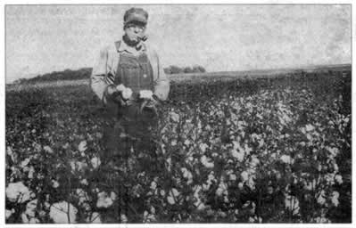 Stalks heavy with cotton ready to be picked