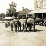 Trio of elephants lumbering along in town square