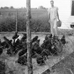 Farmer entering lot to feed his chickens